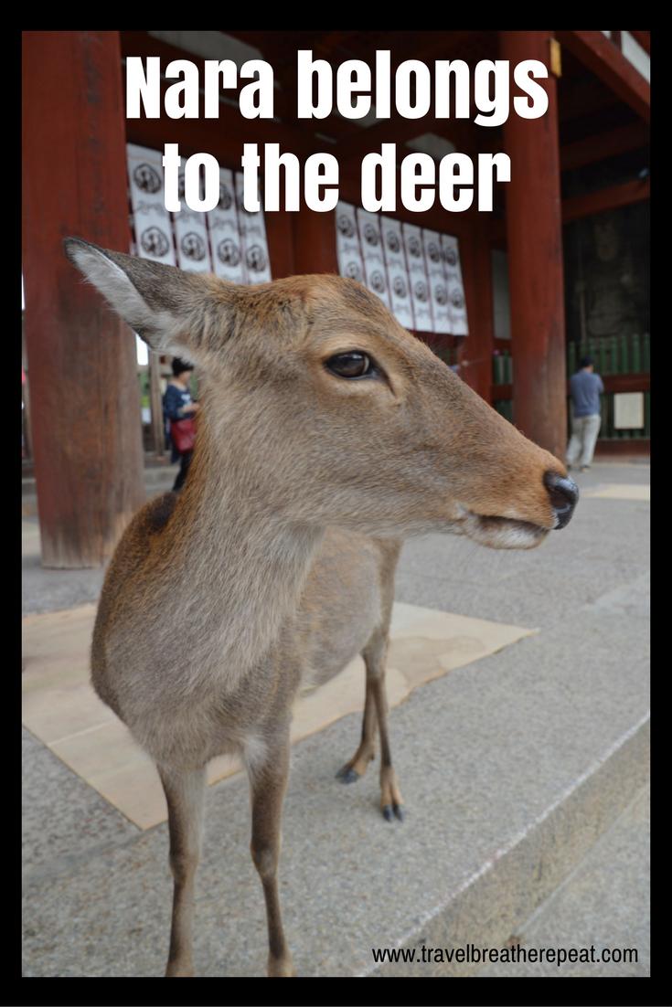 Seeing deer in Nara, Japan - day trip from Kyoto