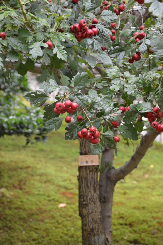 Cherry tree, Kenroku-en Garden, Kanazawa, Japan