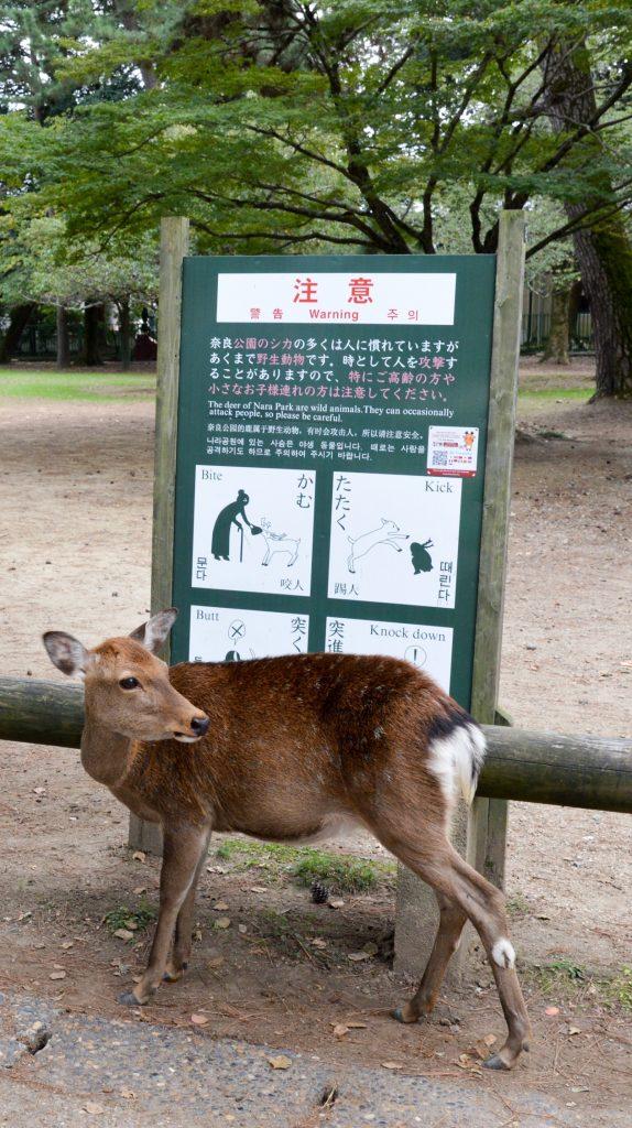 Deer rules of engagement, Nara, Japan