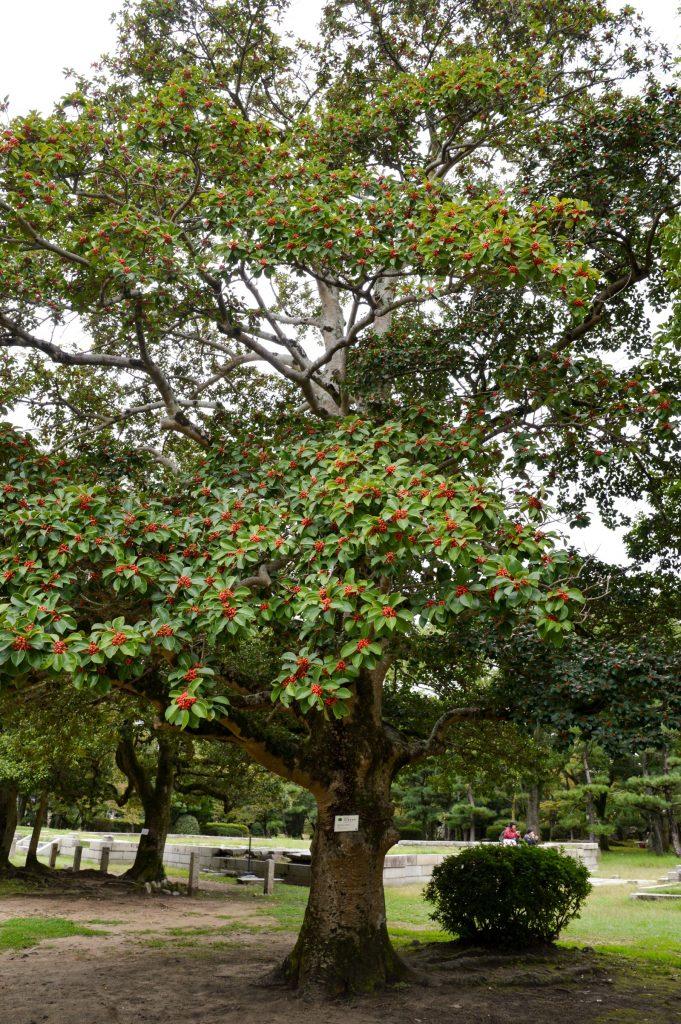 Tree that survived atomic bomb, Hiroshima, Japan