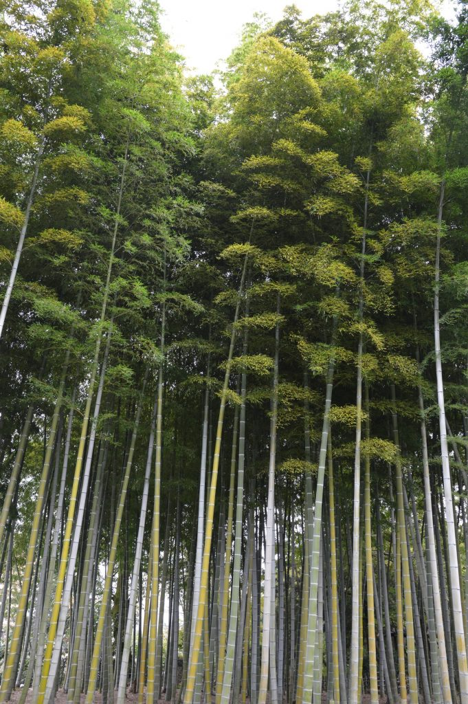 Bamboo Forest at Shukkei-en Garden, Hiroshima, Japan
