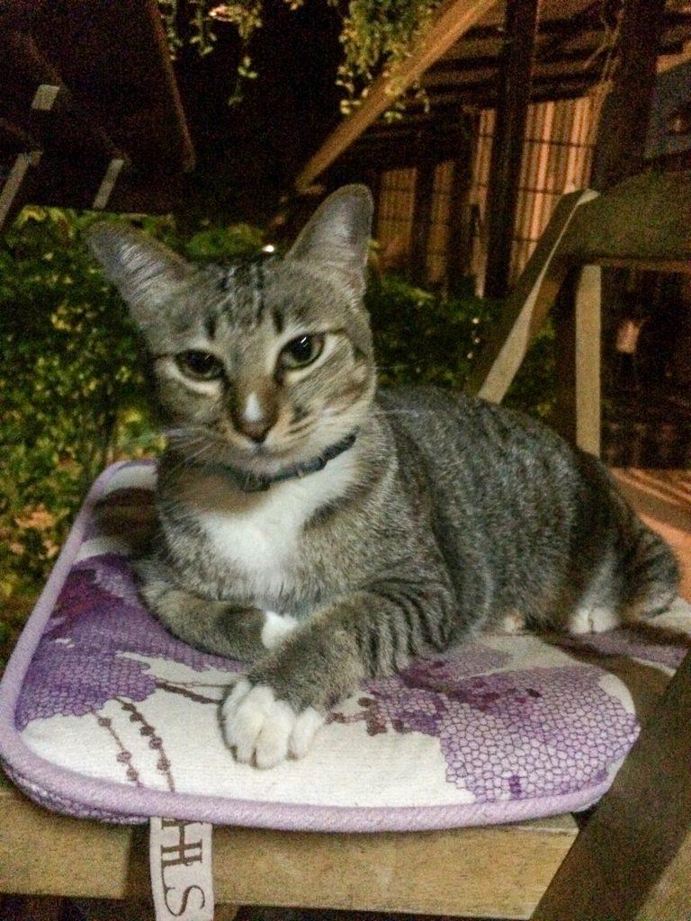 Pad Thai the cat on Ko Lanta, Thailand