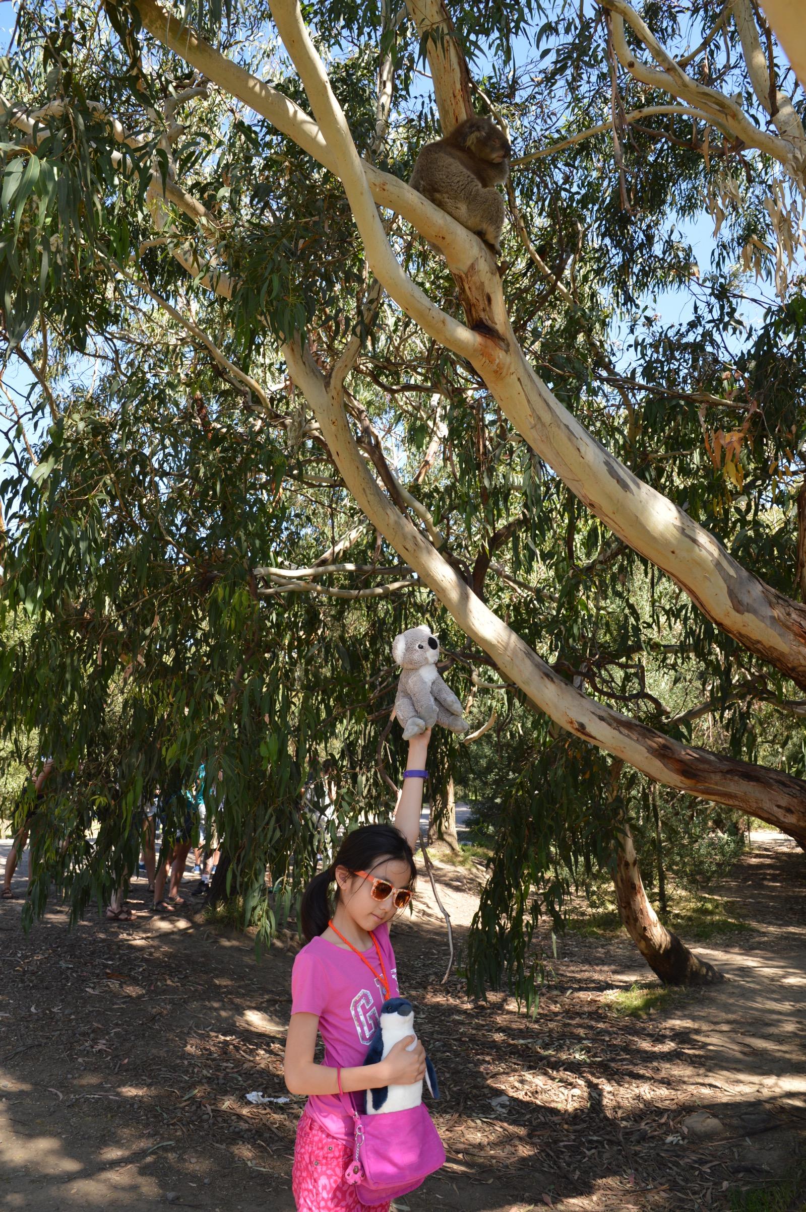 Koala, Kennet River, Australia