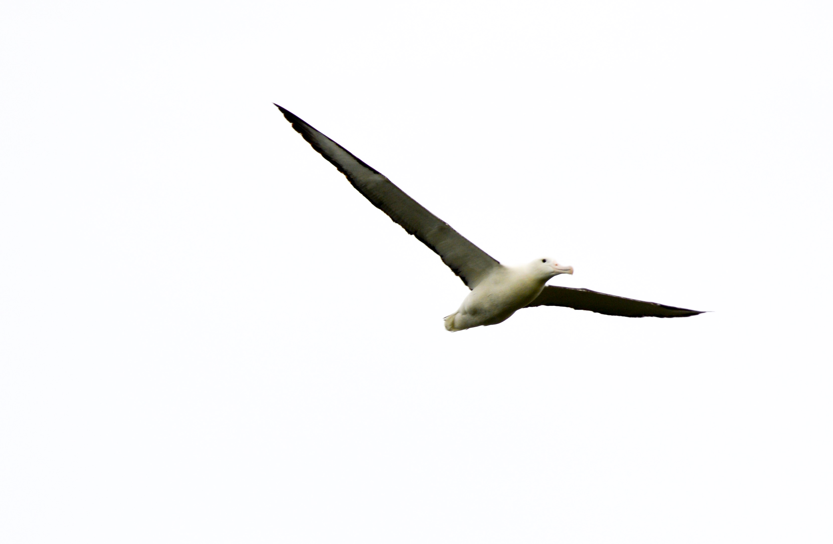 Albatross soaring above Taiaroa head, Otago Peninsula, New Zealand