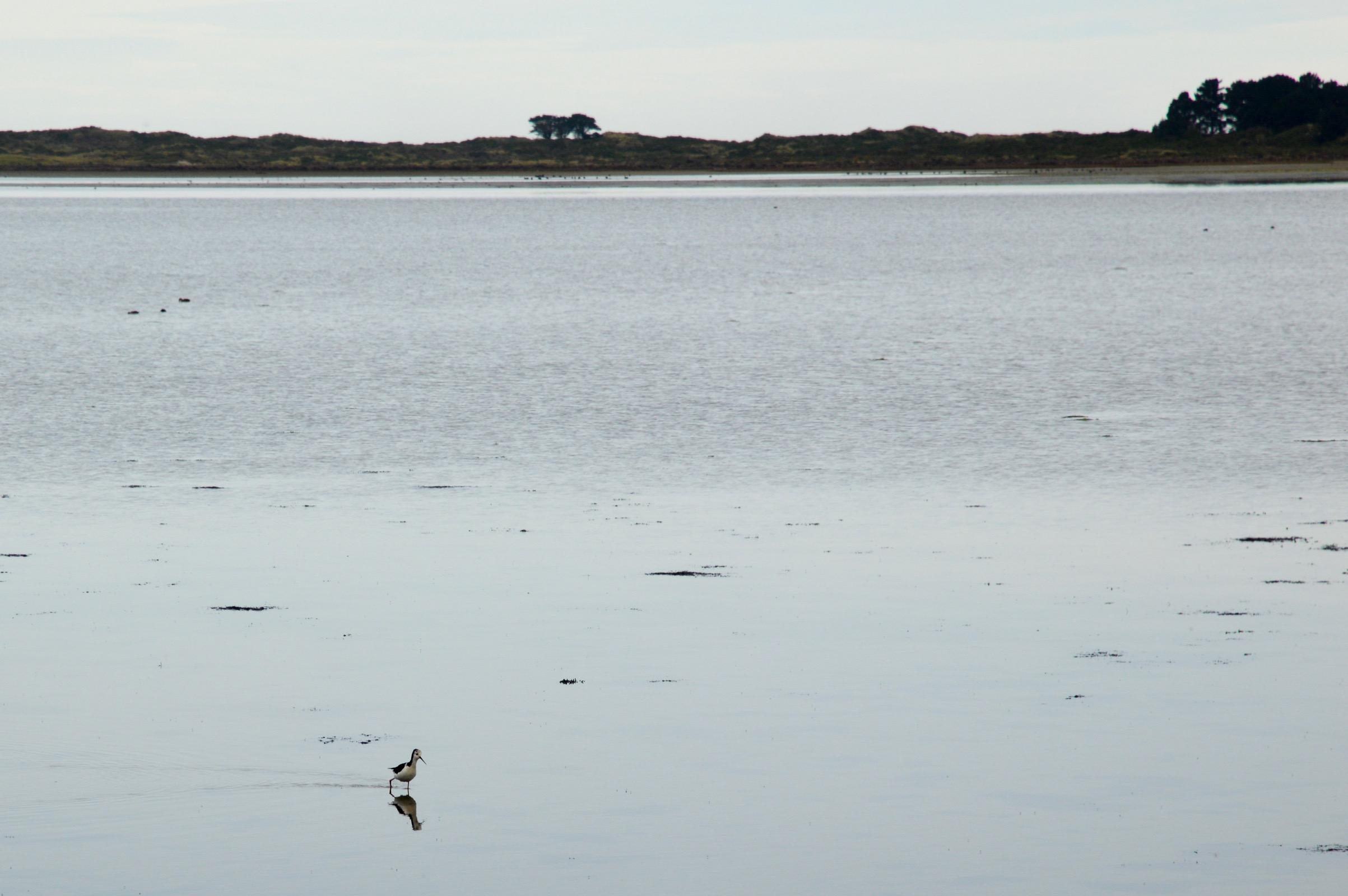 Bird walking on water on the Otago Peninsula, New Zealand