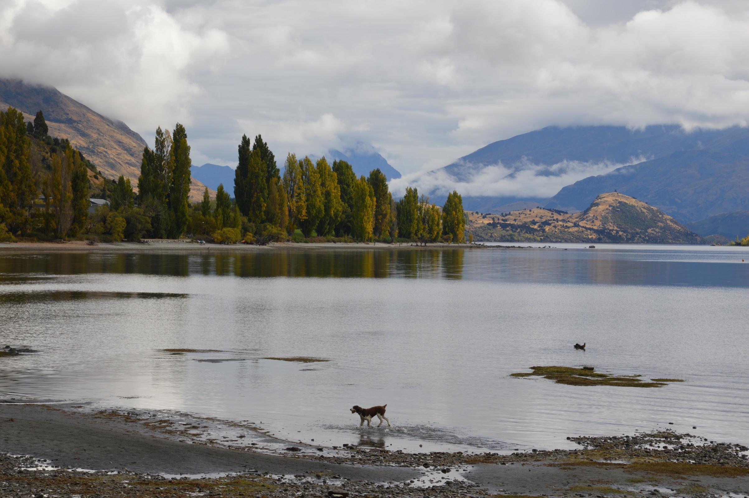 Dog playing in Lake Wanaka, New Zealand