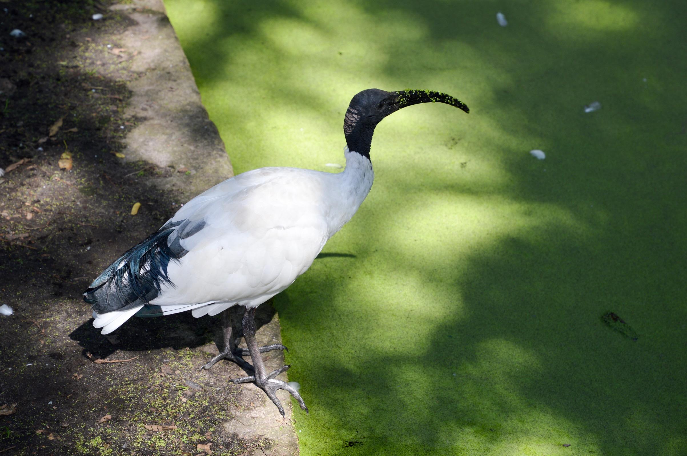 Australian white ibis, Sydney, Australia