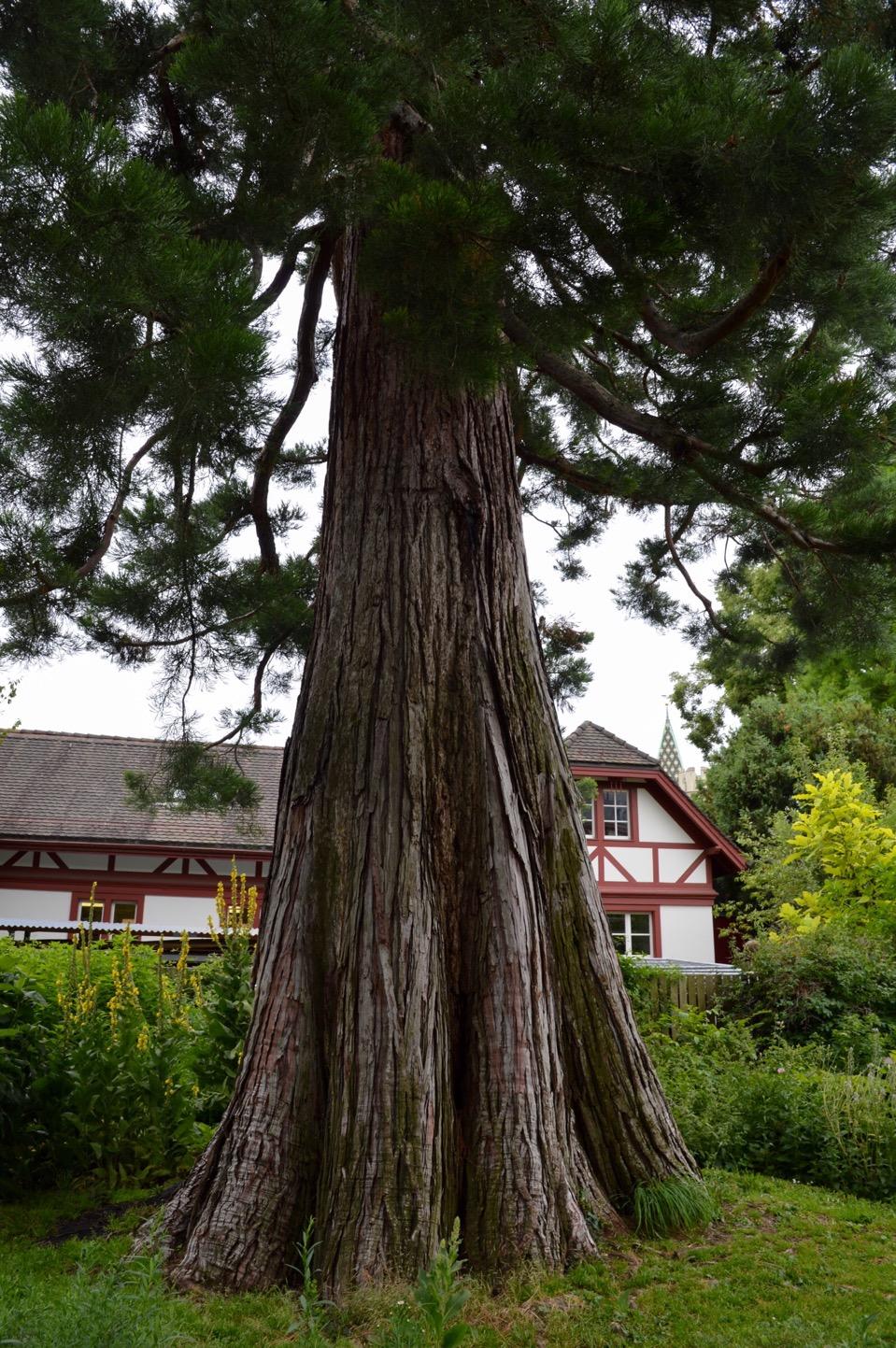 Tree, Universität Basel Botanical Garden, Switzerland