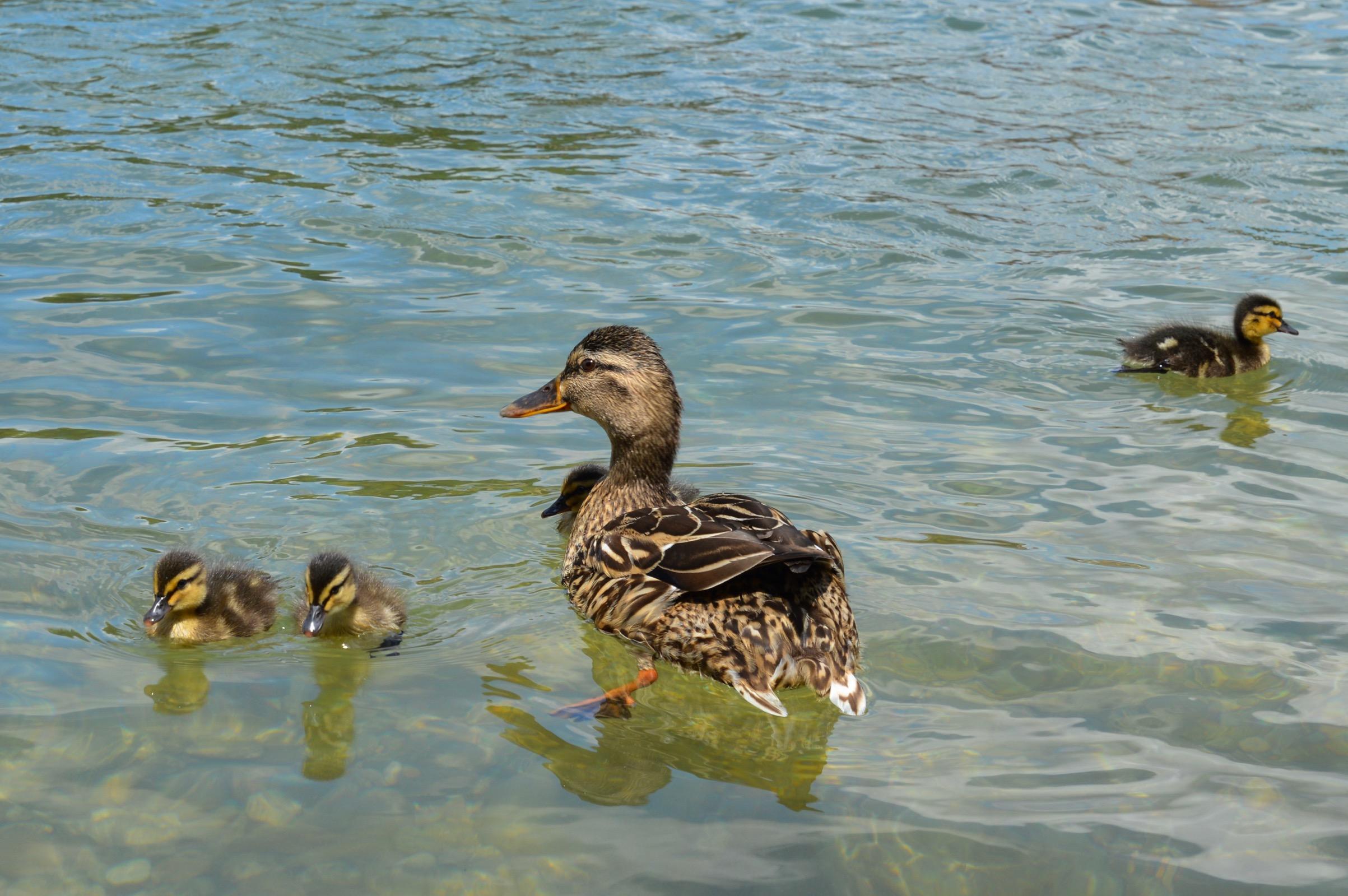 Ducks, Rhine River, Basel, Switzerland