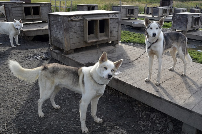 Huskies, Tromso Villmarkssenter, Norway