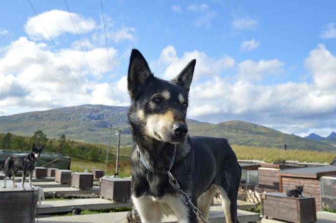 Husky, Tromso Villmarkssenter, Norway