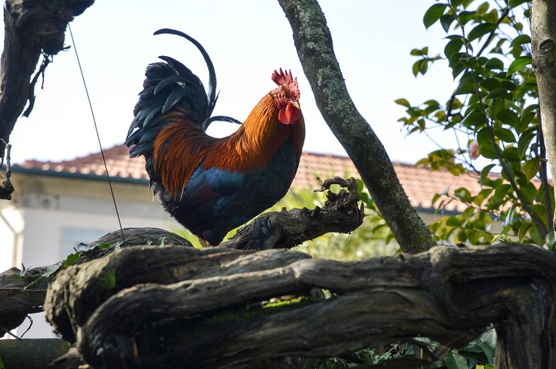 Brightly colored chicken in a tree at Taylor's in Porto, Portugal